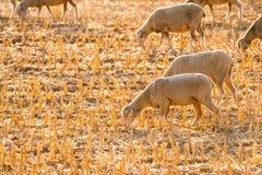 Cordeiros pequenos que pastam Imagem de Stock