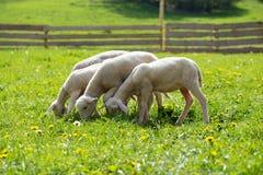 Cordeiros pequenos que pastam em um prado verde bonito com dente-de-leão Imagens de Stock