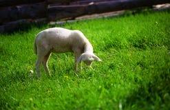 Cordeiros pequenos que pastam em um prado verde bonito com dente-de-leão Fotografia de Stock Royalty Free