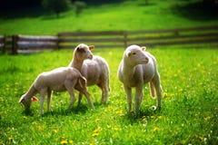 Cordeiros pequenos que pastam em um prado verde bonito com dente-de-leão Imagens de Stock Royalty Free