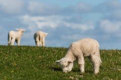 Cordeiros pequenos que pastam no prado fresco Foto de Stock