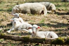 Cordeiros que encontram-se na grama na bio exploração agrícola imagens de stock