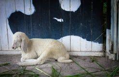 Cordeiros que encontram-se na terra Fotos de Stock