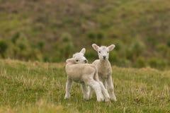 Cordeiros recém-nascidos curiosos Fotografia de Stock