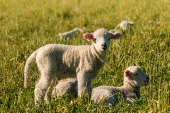 Cordeiros recém-nascidos que descansam no prado Fotos de Stock Royalty Free