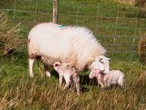 Cordeiros recentemente carregados, Gales Foto de Stock Royalty Free