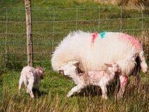 Cordeiros recentemente carregados, Gales Fotos de Stock Royalty Free