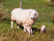 Cordeiros recentemente carregados, Gales Fotos de Stock