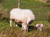 Cordeiros recentemente carregados, Gales Fotografia de Stock Royalty Free