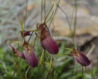 Cordelia's Trisetella Orchid Stock Photo