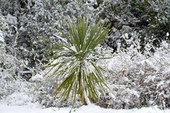 Cordelyne dans la neige Image stock
