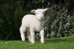 Cordero blanco en la hierba Imagen de archivo libre de regalías
