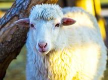 Cordero Cordero de los animales del campo Cordero animal Imagen de archivo libre de regalías
