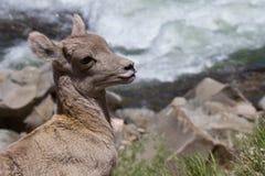 Cordero de las ovejas de carnero con grandes cuernos de la montaña rocosa Imágenes de archivo libres de regalías
