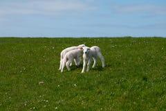 Cordero del bebé en campo verde Fotos de archivo