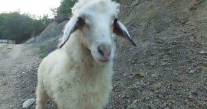 Cordero del bebé en el prado POV el cordero sigue la cámara Ciérrese para arriba de la masticación principal de los corderos, ove almacen de video