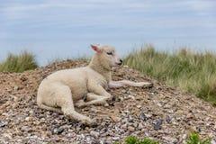 Cordero en la playa Foto de archivo