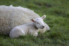 Cordero joven que pone por las ovejas de la madre en un campo Foto de archivo libre de regalías
