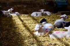 Cordero lindo que duerme en la granja Foto de archivo