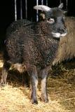 Cordero negro que se coloca en el umbral del granero Foto de archivo libre de regalías