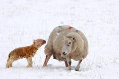 Cordero nuevamente llevado en la nieve imagen de archivo libre de regalías