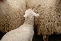 Cordero/ovejas Imágenes de archivo libres de regalías