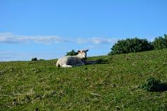 Cordero que coloca en el alto prado Nueva Zelanda Fotografía de archivo libre de regalías