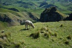 Cordero que pasta en un alto prado En alguna parte en Nueva Zelandia Foto de archivo libre de regalías