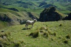 Cordero que pasta en un alto prado En alguna parte en Nueva Zelandia Fotografía de archivo libre de regalías