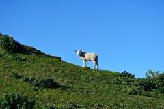 Cordero que se coloca en el alto prado Nueva Zelanda Fotografía de archivo libre de regalías