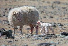 Cordero recién nacido Fotos de archivo
