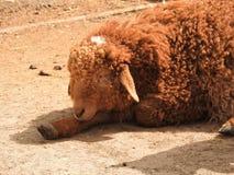 Cordero recién nacido Irlanda joven feliz en cordero verde de las ovejas del campo imagen de archivo libre de regalías