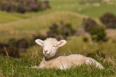 Cordero recién nacido soñoliento Fotografía de archivo libre de regalías