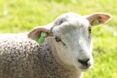 Cordero wooly lindo que mira mientras que se coloca en un campo Foto de archivo libre de regalías
