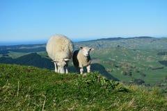 Cordero y madre en el alto prado Nueva Zelanda Fotos de archivo