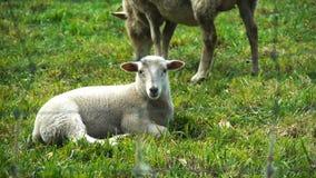 Cordero y oveja metrajes