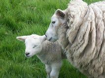 Cordero y ovejas Imagen de archivo libre de regalías