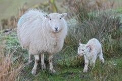 Cordero y ovejas Imágenes de archivo libres de regalías