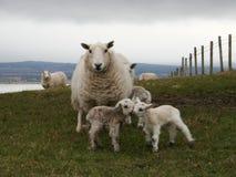 Cordero y ovejas Imagen de archivo