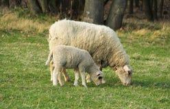 Cordero y ovejas fotografía de archivo