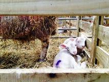 Cordero y ovejas en la granja Imágenes de archivo libres de regalías