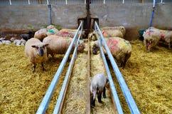 Cordero y ovejas lindos en la granja Imágenes de archivo libres de regalías