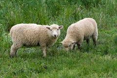 Corderos blancos. imágenes de archivo libres de regalías