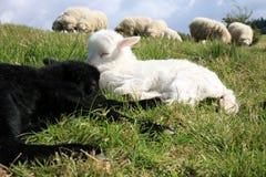 Corderos blancos y negros el dormir. Foto de archivo