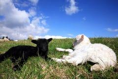 Corderos blancos y negros el dormir. Imagen de archivo