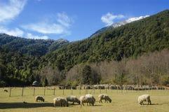 Corderos comiendo en pradera natural Foto de archivo libre de regalías