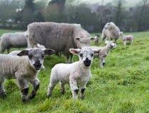 Corderos de la primavera Foto de archivo libre de regalías