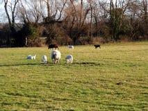 Corderos de la primavera en campo foto de archivo libre de regalías