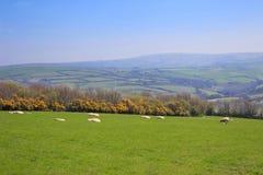 Corderos de las ovejas y de la primavera Fotografía de archivo libre de regalías