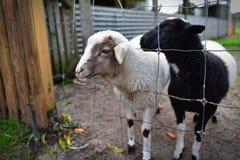 Corderos domesticados en una granja Imagen de archivo libre de regalías